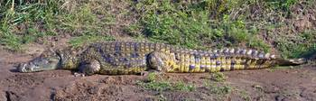Side profile of a Nile Crocodile (Crocodylus Nilo