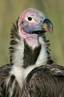 Close-up of a Lappet-Faced Vulture (Torgos Trache