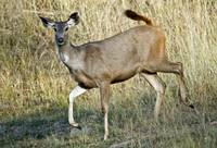 Sambar Cervus unicolor running in a forest Bandha