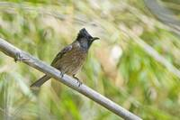 Red Vented bulbul Pycnonotus cafer perching on a