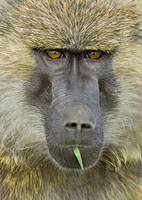 Portrait of an Olive Baboon (Papio Anubis)
