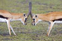 Side profile of two Thomsons Gazelle (Gazella Tho
