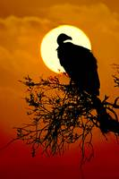 Silhouette of a Vulture perching on a tree