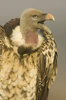 Close-up of a Rupells Griffon Vulture (Gyps Ruepp