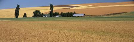 Farm and wheat field St John WA