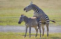 Two Zebras mating