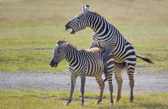 Zebras mating - photo#19