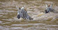 Two Zebras swimming in a river