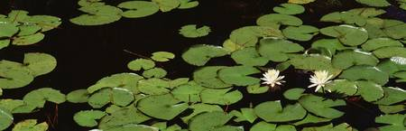 High angle view of Water Lilies