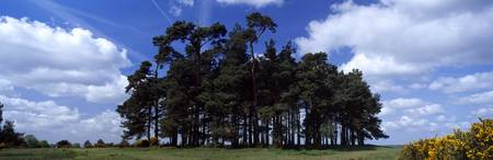 Trees in a landscape Camp Hill Clump Ashdown Fore