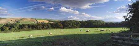 Sheep grazing in a field Nunburnholme Wold Nunbur