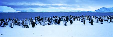 Penguins Cape Darnley Antarctica