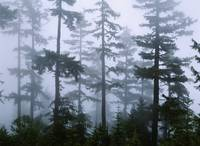 Silhouette of trees with fog in the forest