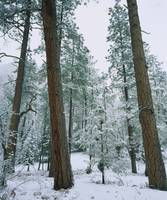 Snow covered Ponderosa Pine trees in a forest