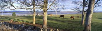 Horses grazing in a pasture Budle Bay Budle North