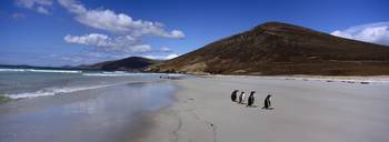 Four Gentoo Penguins standing on the beach