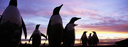 Silhouette of a group of Gentoo penguins