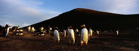 Colony of Gentoo Penguins standing on a landscape