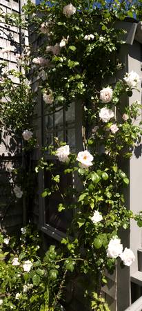Pink roses growing on the side of a house