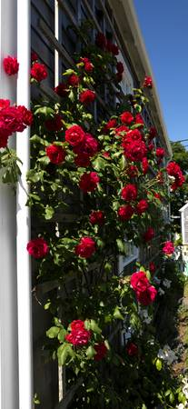 Red roses growing on the side of a house