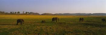 Elephants grazing in a field