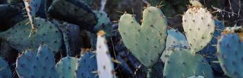 Close up of Prickly Pear Cacti Texas