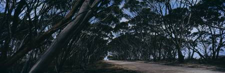 Eucalyptus trees leaning over a road