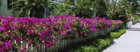Azaleas on a picket fence along a sidewalk