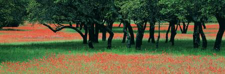 Indian Paintbrushes and Scattered Oaks Texas Hill