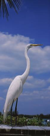 Close-up of a Great egret (Ardea alba) perching