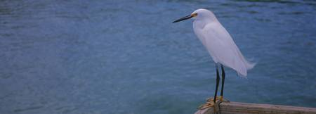 Close-up of a Snowy egret (Egretta thula)