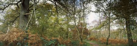 Ancient woodland in a Forest Sherwood Forest Nott