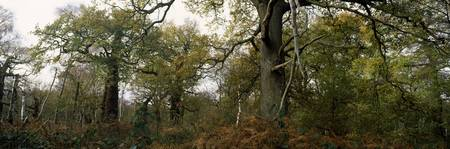 Ancient oak trees in a forest Sherwood Forest Not