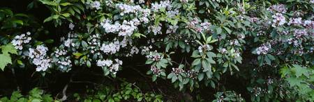 Flowering Mountain Laurels (Kalmia latifolia)