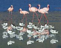 Avocets and flamingos standing in water