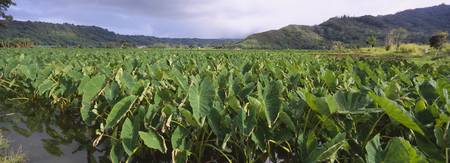 Taro crop in a field
