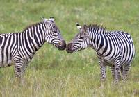 Side profile of two zebras touching their snouts