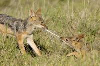 Side profile of two Silver-backed jackals pulling