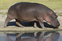 Side profile of a hippopotamus walking