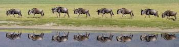 Herd of wildebeests walking in a row along a rive
