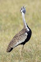 Side profile of Black-bellied bustard standing in