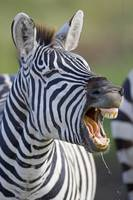 Close-up of a zebra calling