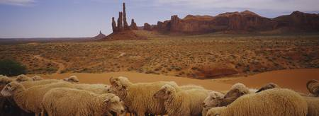 Flock of sheep in an arid landscape