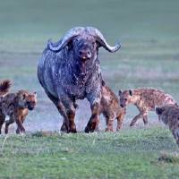 """Group of hyenas hunting an African buffalo Synce"" by Panoramic Images"