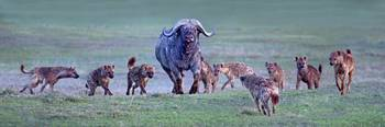 Group of hyenas hunting an African buffalo (Synce