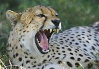 Close-up of a cheetah yawning