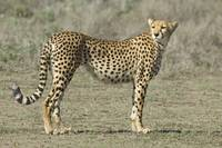 Side profile of a cheetah