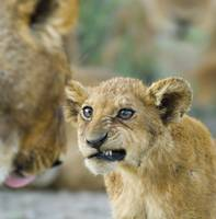 Close-up of a lion cub