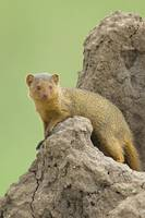 Side profile of a Dwarf mongoose