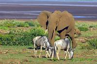 African elephant (Loxodonta Africana) and two wil